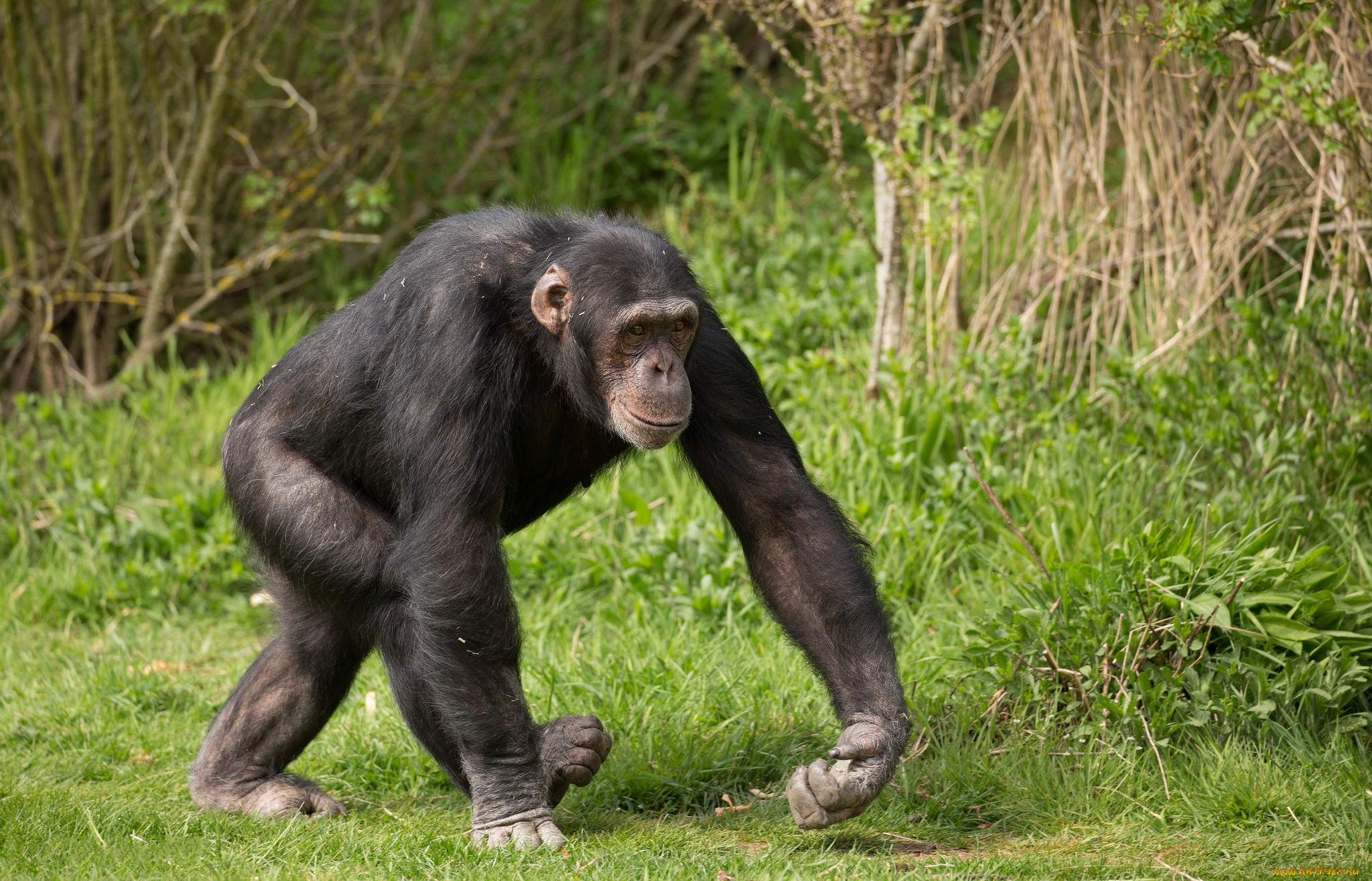 покажи картинки шимпанзе конкретное изделие